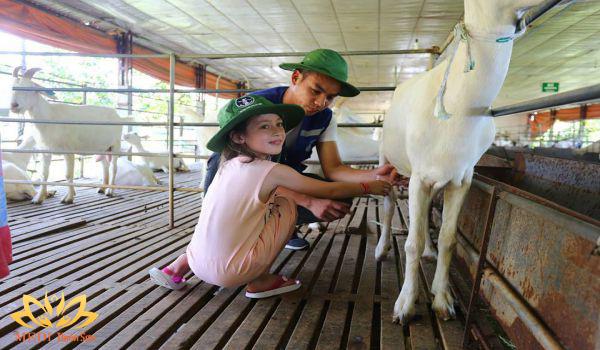 Vắt sữa dê tại Detrang Farm